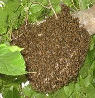A swarm of honey bees
